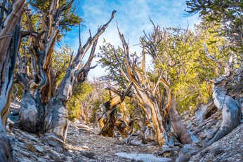 Bristlecone pines growing in the White Mountains of California. Source: Fotolia
