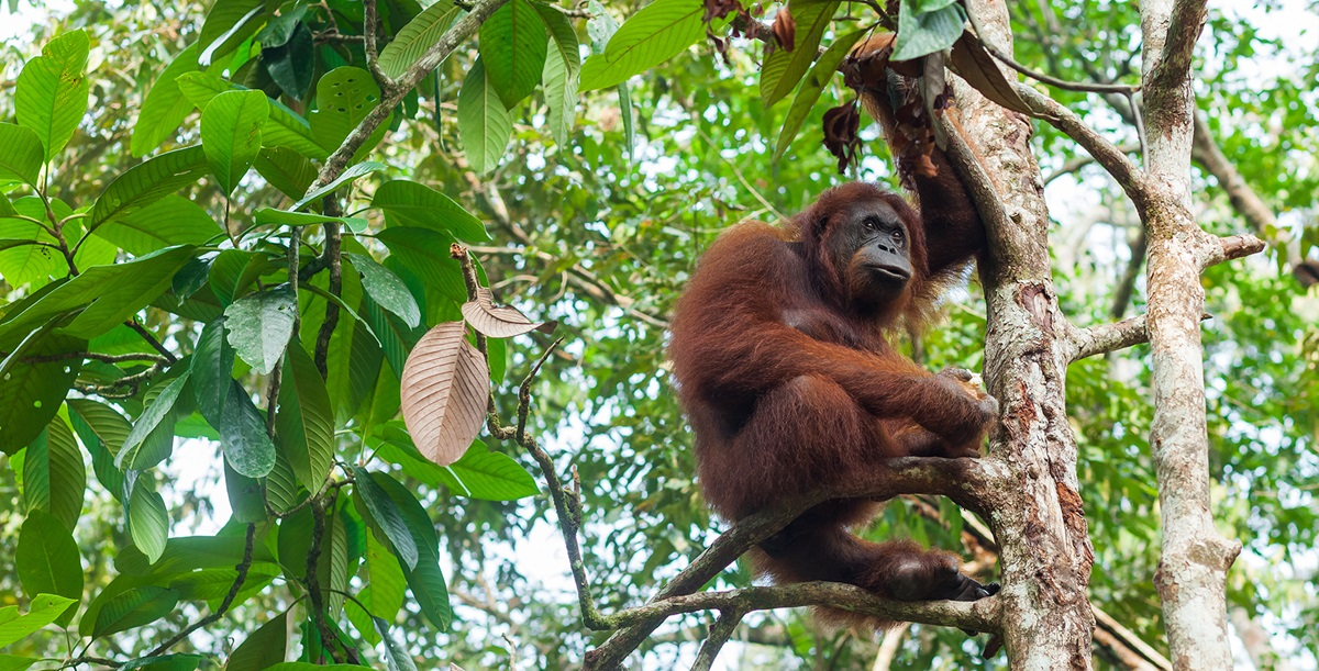 Orangutan sitting on a tree