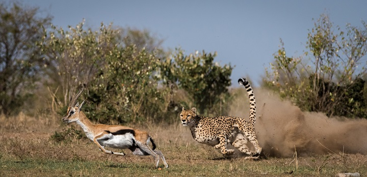Cheetah is hunting a gazelle